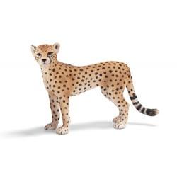 Guépard femelle